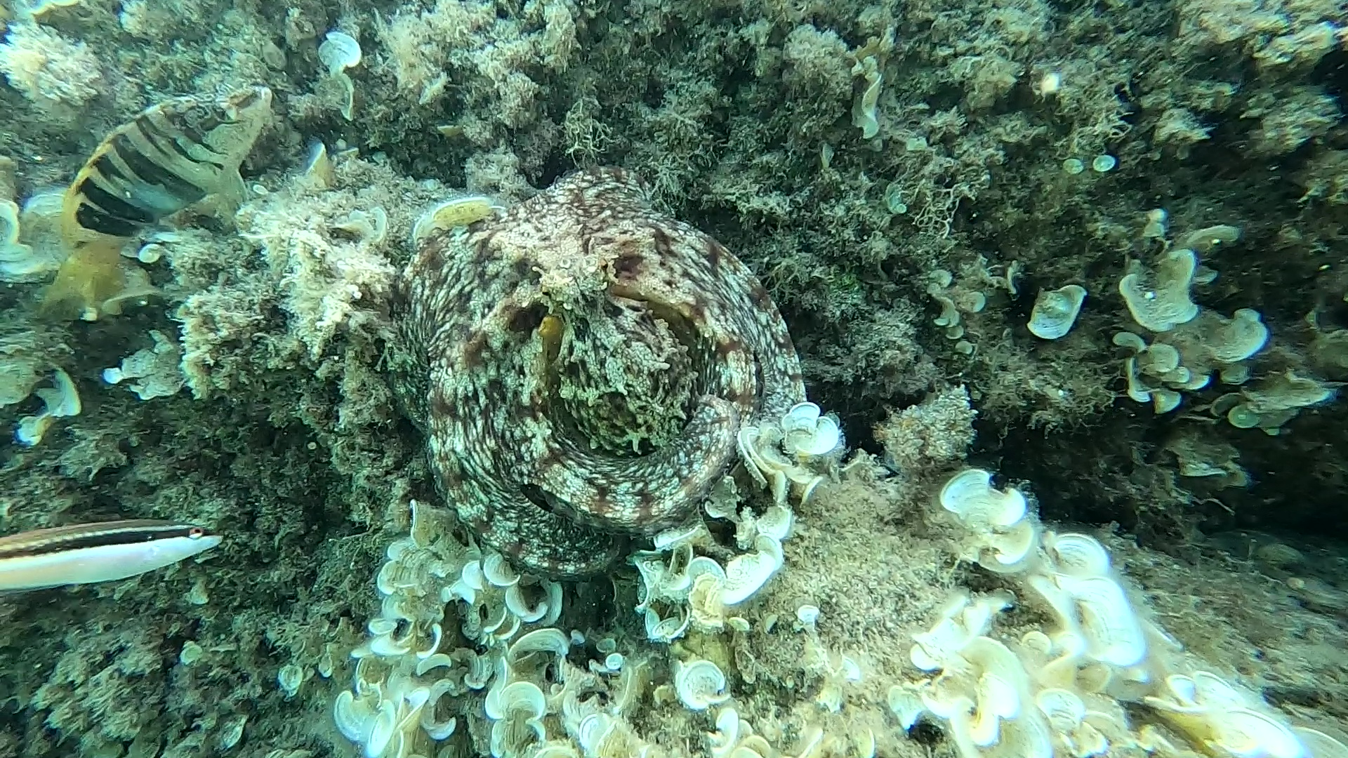 Octopus Mimicry