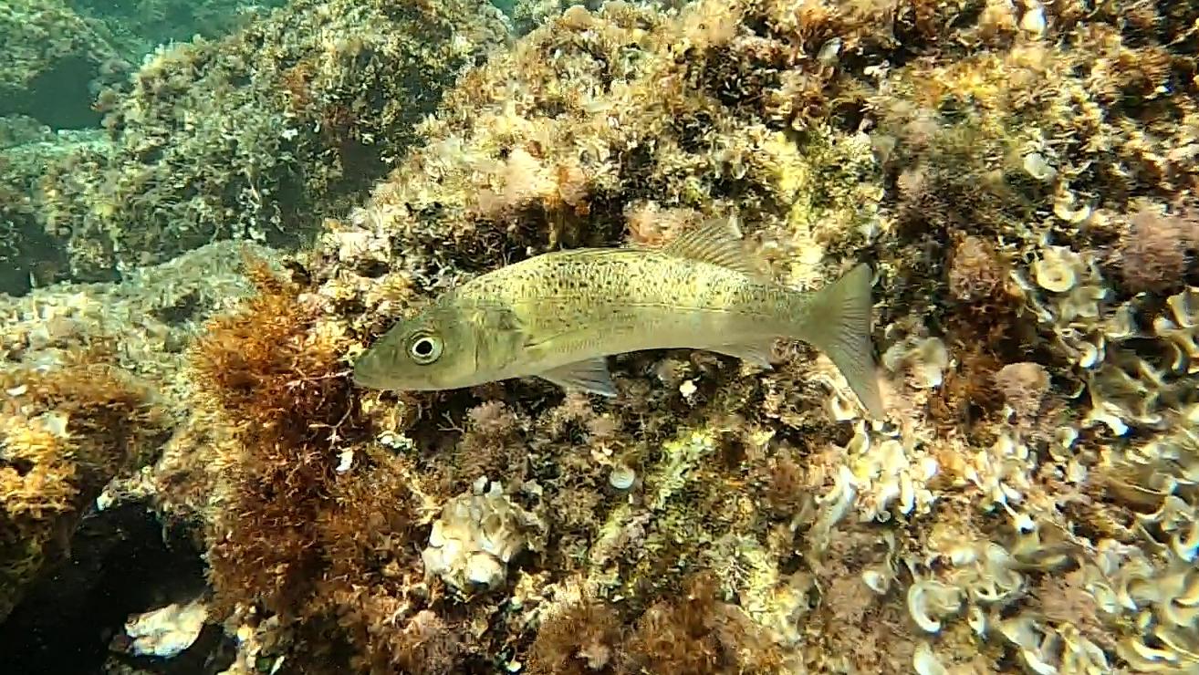 Spotted seabass - Dicentrarchus punctatus