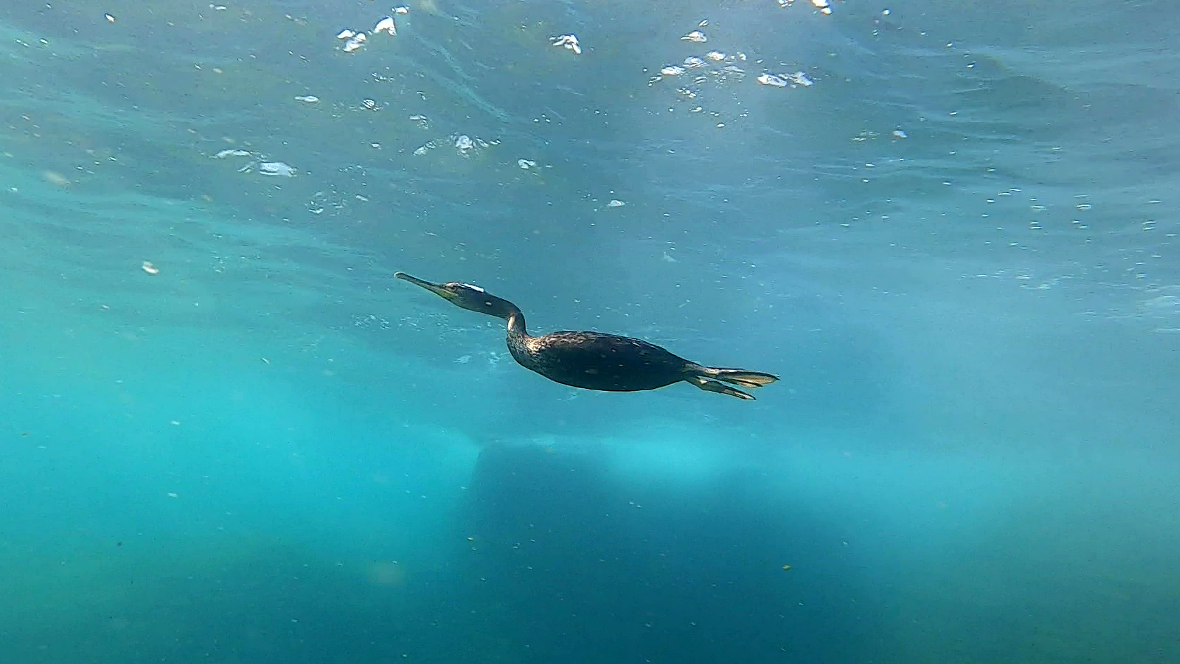 Born freediver - Great cormorant - Phalacrocorax carbo