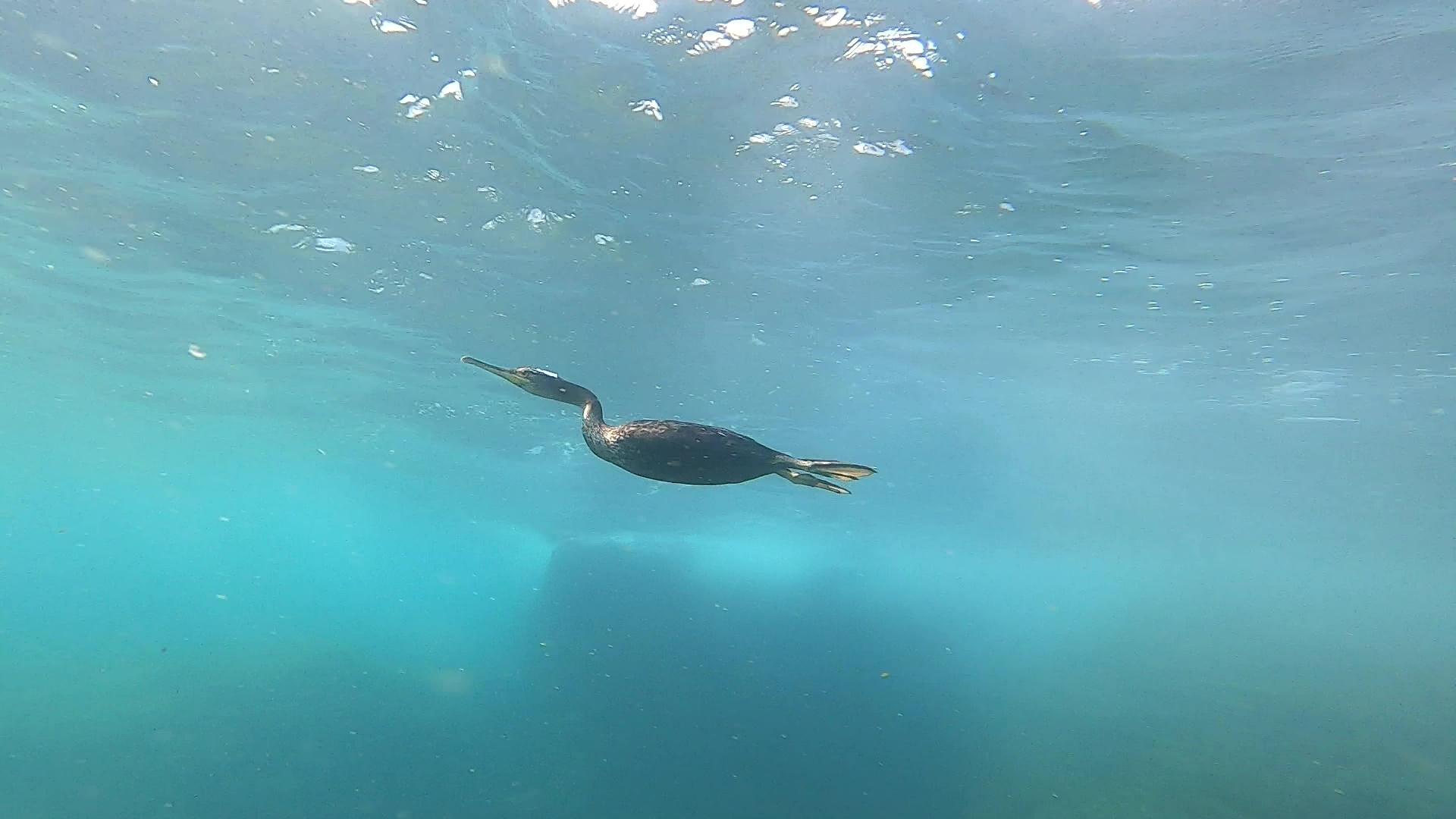 Born freediver Apneista nato Great cormorant Phalacrocorax carbo Cormorano comune intotheblue.it