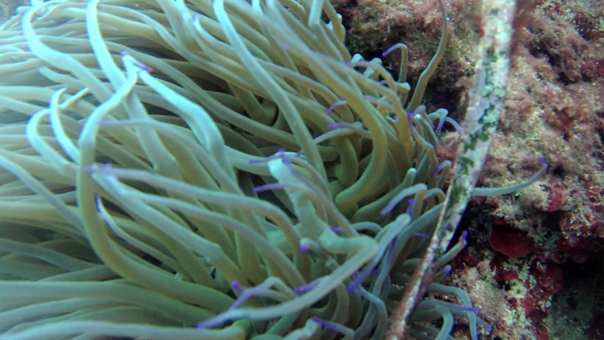 Anemone di Mare Anemonia sulcata capelli di Venere Mediterranean sea Anemone Venus hair intotheblue.it