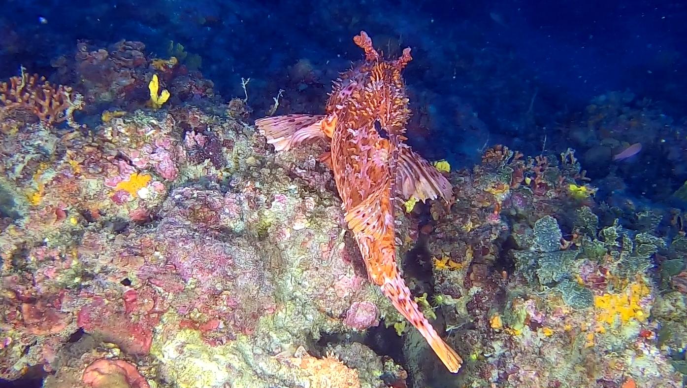 Scorfano Rosso Scorpaena scrofa Red Scorpionfish intotheblue.it