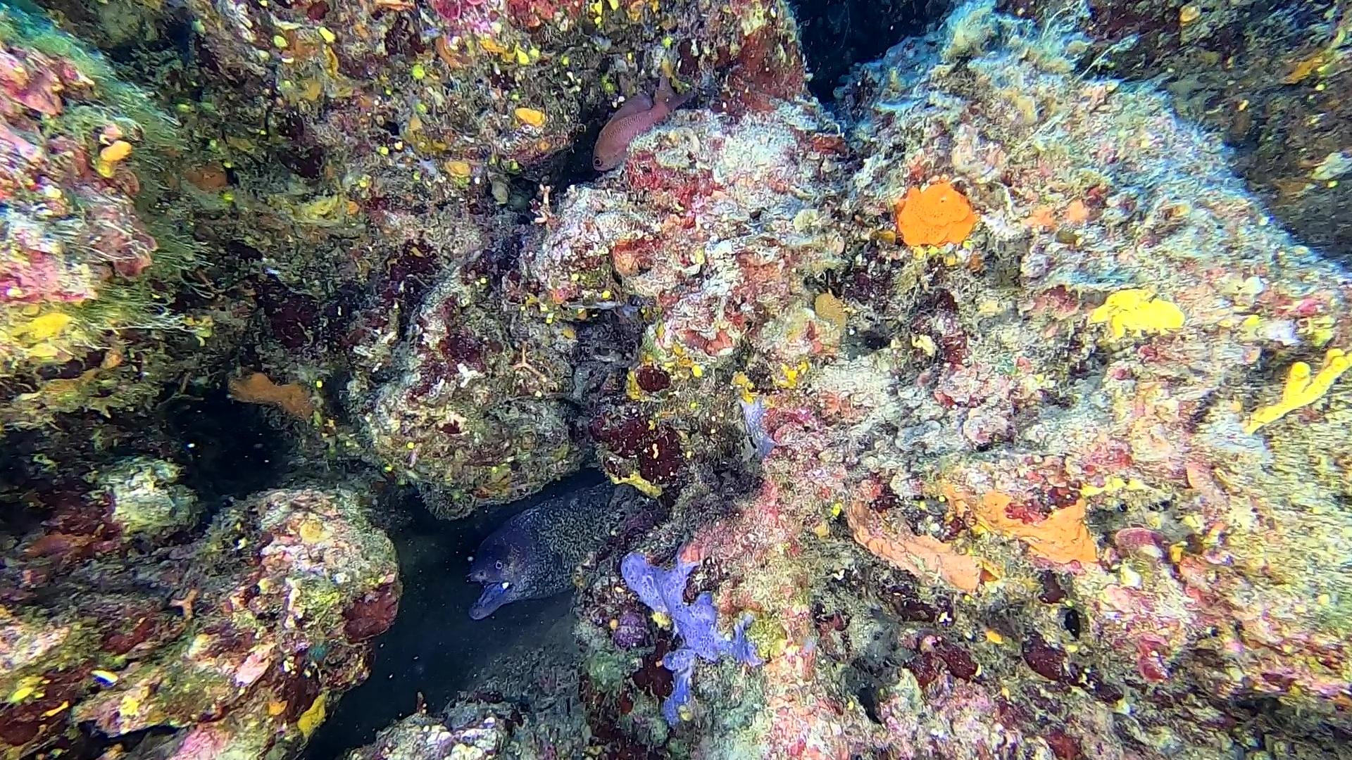 Moray eel Murena helena www.intotheblue.it